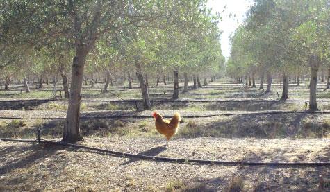 one chicken in farm