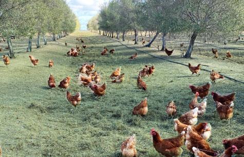 chickens in farm